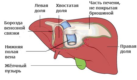 структура печени